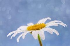 Witte de zomerbloem Stock Afbeeldingen