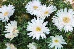 Witte decoratieve bloemen Stock Fotografie