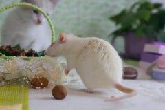 Witte decoratieve rat op de achtergrond van decoratie royalty-vrije stock afbeelding