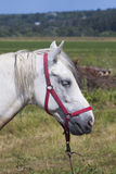 Witte Dichte Omhooggaand van het Paard Stock Afbeelding