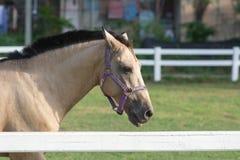 Witte dichte omhooggaand van het Paardhoofd Stock Afbeelding