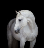 Witte dichte omhooggaand van het paardhoofd, op zwarte Royalty-vrije Stock Afbeeldingen