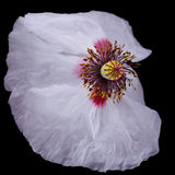 Witte die bloem op zwarte wordt geïsoleerd Royalty-vrije Stock Afbeeldingen