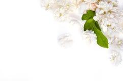 Witte die bloemachtergrond van de bloemen van de Jasmijnaard op whit worden uitgespreid Stock Afbeelding