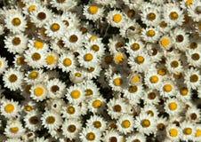 Witte die bloemen in Cape Town worden gefotografeerd Royalty-vrije Stock Afbeelding