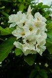 Witte die bloemen door groene bladeren, natuurlijke tegenover elkaar stellende kleuren worden omringd van bloemen stock foto's