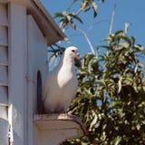 Witte die duif bij ingang aan duifhuis wordt gezeten Stock Afbeelding