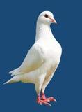 Witte die duif op blauwe achtergrond wordt geïsoleerd Stock Fotografie