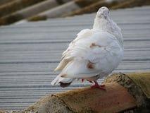 Witte die duif op het dak wordt neergestreken royalty-vrije stock foto's