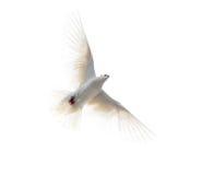 Witte die duif tijdens de vlucht op witte achtergrond wordt geïsoleerd royalty-vrije stock foto's