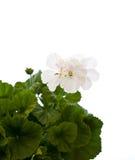 Witte geranium Stock Afbeelding