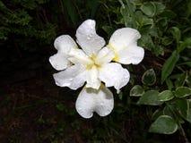 Witte die Iris in regendruppels wordt behandeld royalty-vrije stock fotografie