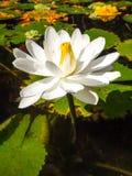 Witte die lotusbloem op wit wordt geïsoleerd Stock Afbeeldingen