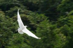 Witte die ooievaar met vleugels tegen bomen worden uitgespreid stock afbeeldingen