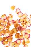 Witte die oppervlakte met roze roze bloemblaadjes en enige knop als romantische samenstelling wordt behandeld als achtergrond Stock Afbeelding