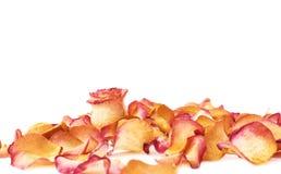 Witte die oppervlakte met roze roze bloemblaadjes en enige knop als romantische samenstelling wordt behandeld als achtergrond Stock Foto's