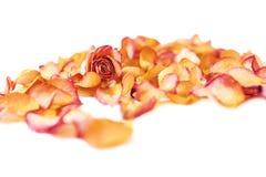 Witte die oppervlakte met roze roze bloemblaadjes en enige knop als romantische samenstelling wordt behandeld als achtergrond Royalty-vrije Stock Afbeeldingen