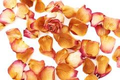 Witte die oppervlakte met roze roze bloemblaadjes en enige knop als romantische samenstelling wordt behandeld als achtergrond Royalty-vrije Stock Fotografie
