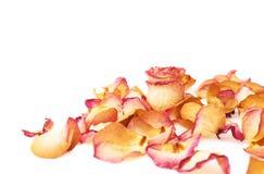 Witte die oppervlakte met roze roze bloemblaadjes en enige knop als romantische samenstelling wordt behandeld als achtergrond Royalty-vrije Stock Afbeelding