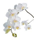 Witte die orchidee op wit wordt geïsoleerd. stock foto's