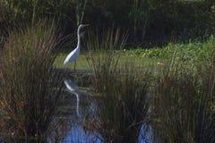 Witte die vogel in vijver wordt weerspiegeld Stock Afbeeldingen