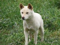 Witte dingo Stock Foto