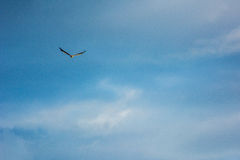 Witte Doen zwellen Overzees Eagle Stock Fotografie