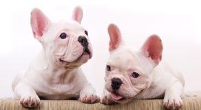 Witte doggie twee Stock Afbeelding