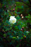 Witte dogrose. royalty-vrije stock foto's