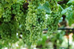 Witte druif Stock Foto