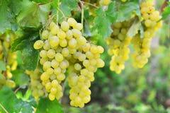 Witte druif stock afbeeldingen