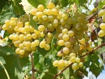 Witte druif op de wijnstok Royalty-vrije Stock Afbeeldingen