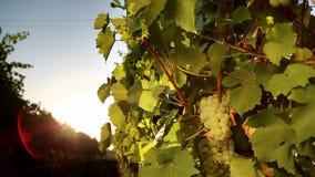 Witte druif van de wijngaard bij zonsondergang stock video
