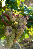 Witte druiven Stock Afbeelding