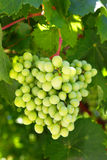 Witte druiven Stock Foto