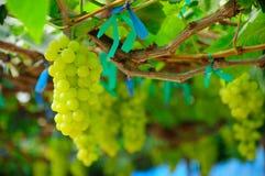 Witte druiven Royalty-vrije Stock Afbeeldingen