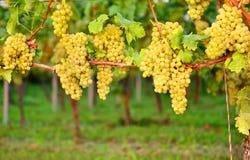 Witte druiven in de herfst Nieuwe wijngaard royalty-vrije stock afbeeldingen
