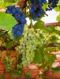 Witte Druiven in de Wijngaard Royalty-vrije Stock Afbeelding