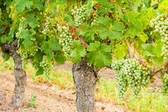 Witte druiven die op een oude wijnstok hangen Royalty-vrije Stock Foto