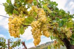 Witte druiven die van wijnstok met vage wijngaardachtergrond hangen stock afbeelding