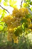 Witte druiven die vorm hangen een wijnstok Stock Foto's