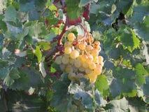 Witte druiven die in wijn wachten worden omgezet stock foto's