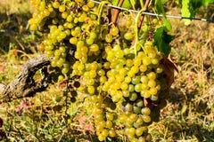Witte druiven in een oude ecologische wijngaard Klaar voor oogst Royalty-vrije Stock Afbeelding