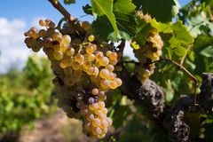 Witte druiven in een wineyard Stock Afbeeldingen