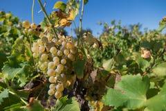 Witte druiven in een wineyard Royalty-vrije Stock Foto's