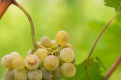 Witte druiven met groene bladeren rond het stock foto's