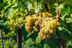 Witte druiven op de wijnstokken vlak vóór de oogst stock afbeelding