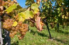Witte druiven op een wijnstok Stock Fotografie