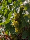 Witte druiven op een wijnstok stock foto