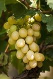 Witte druiven op een wijnstok Stock Afbeeldingen